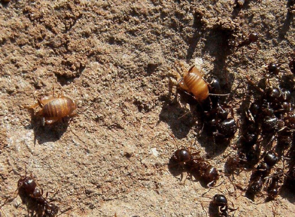 Leggi argomento un ospite del formicaio for Debellare formiche